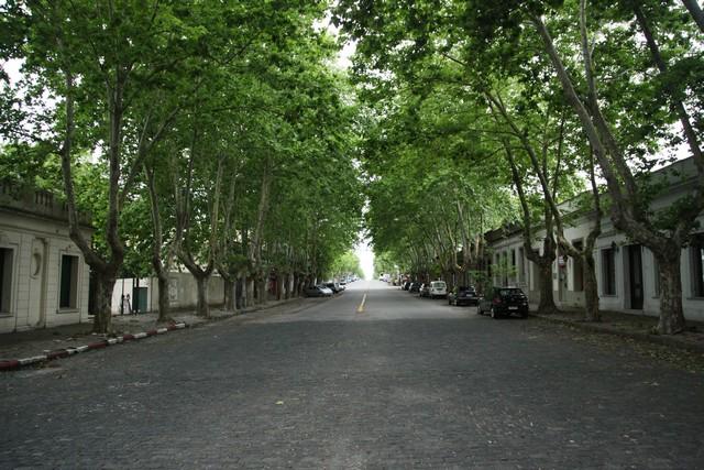 çınar, ağaç, colonia del sacramento