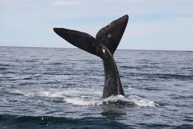 Southern Right Whale - Güney Gerçek Balinası