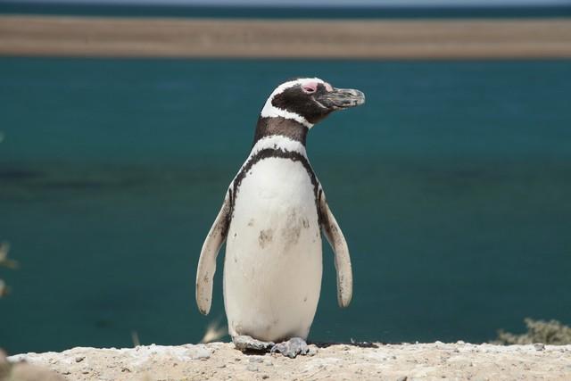 Magellan penguenleri, Punta del Norte